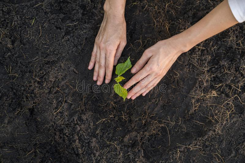 Jardinier plantant la jeune plante dans le sol image libre de droits