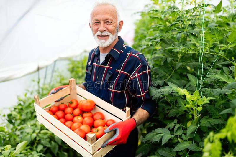 Jardinier sup?rieur avec un panier des l?gumes moissonn?s dans le jardin image libre de droits