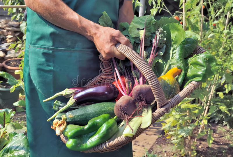 Jardinier tenant un panier de légumes photos libres de droits