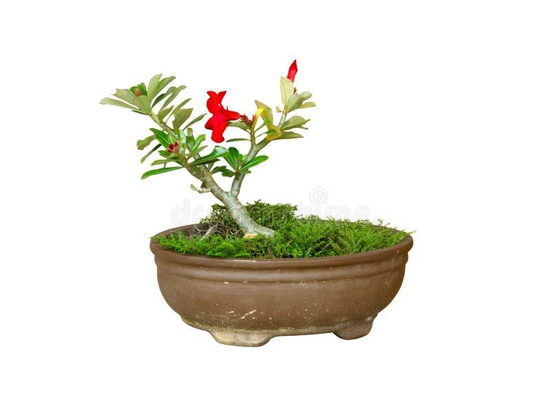 Jardiniere do Plumeria imagem de stock