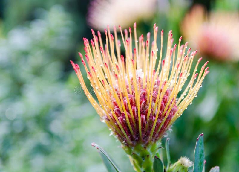 Jardins botaniques de Kirstenbosch dans l'†«Afrique du Sud de Cape Town image stock