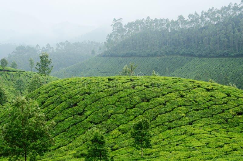 Jardins de chá verde em montanhas de Munnar, Kerala, Ghats ocidental, Índia imagem de stock royalty free