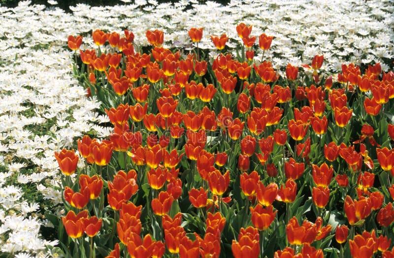 Jardins de flor vermelha e branca fotos de stock royalty free