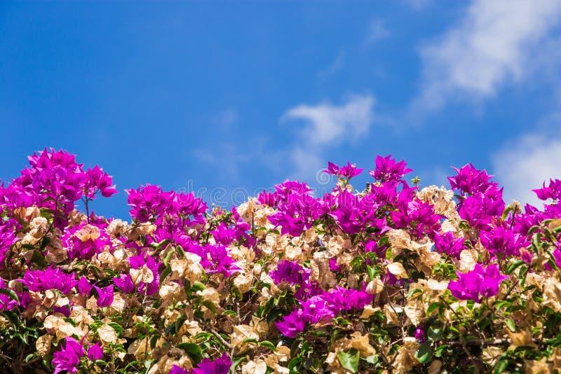 Jardins de florescência bonitos arbusto brilhante contra o céu buganvília brilhante da imagem imagem de stock