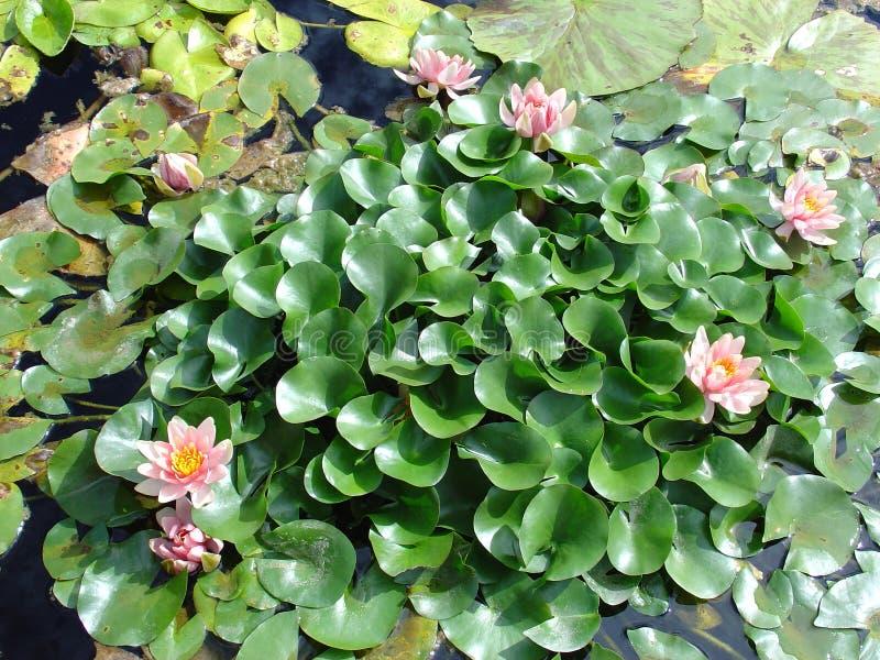 Jardins de lis d'eau images stock