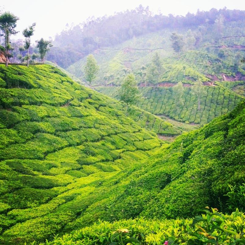 Jardins de thé images stock