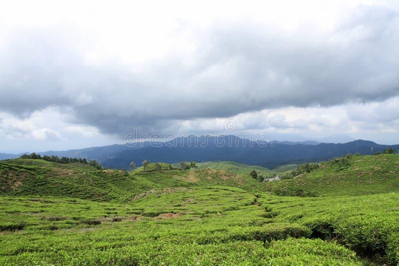 Jardins de thé de paysage pour le fond photographie stock
