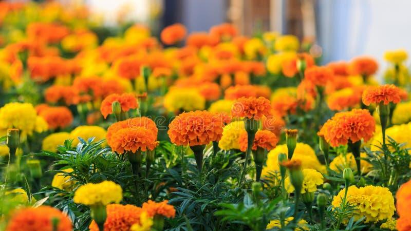 Jardins des fleurs de camara de lantana image stock