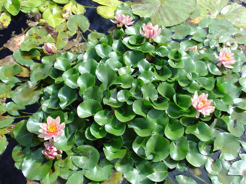 Jardins do lírio de água imagens de stock