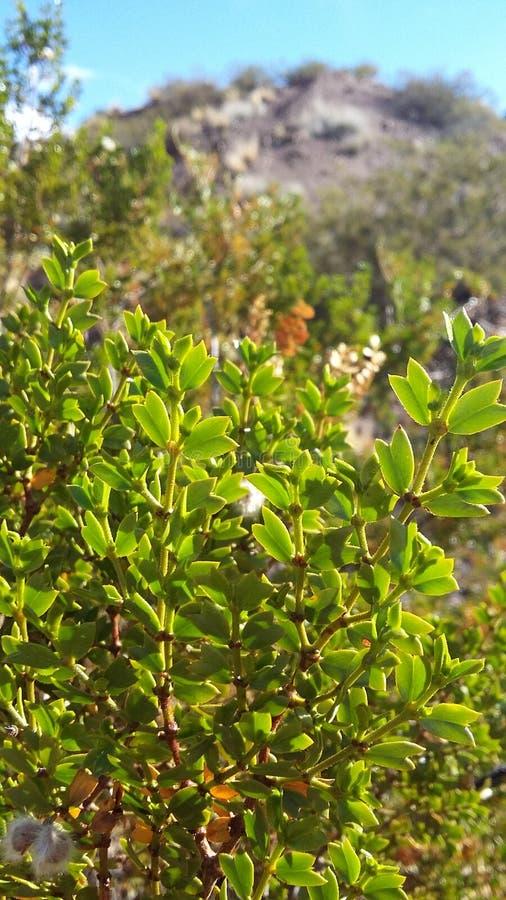 Jarilla - Larrea Cuneifolia- stock images