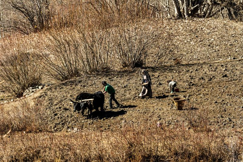Jarkot, Nepal - November 17, 2015: Nepalese family with the help of a bull plowing the land in late autumn stock image