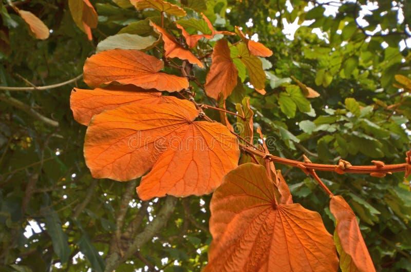 Jarmarczny kolor dziki winograd opuszcza na drzewie zdjęcie stock
