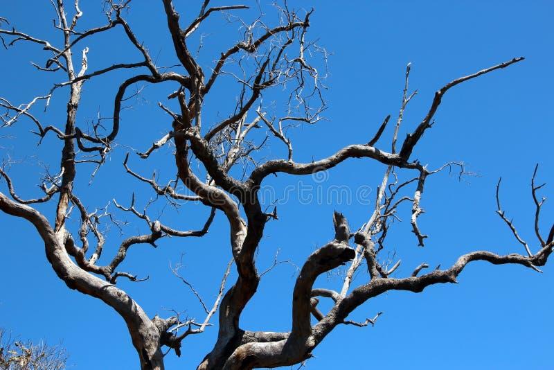 Jarrah Dieback en árbol de goma fotos de archivo