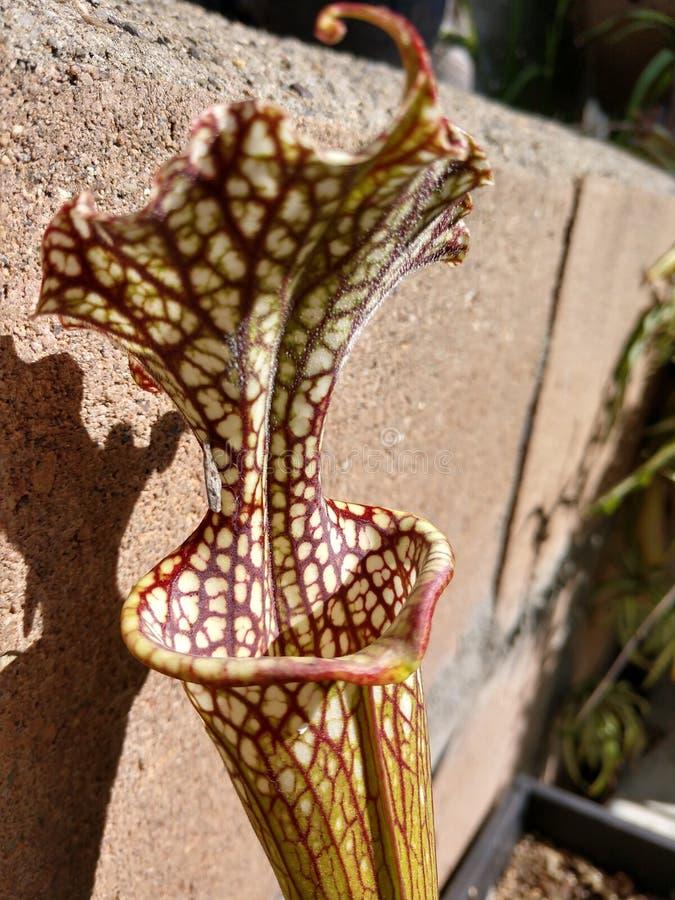 Jarro de Adrian Slack Sarracenia Trumpet da planta carn?vora do coletor da mosca fotos de stock royalty free
