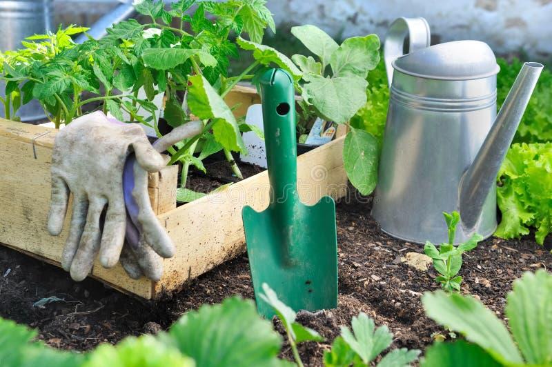 Jarzynowa roślina w tacy w ogródzie zdjęcia royalty free