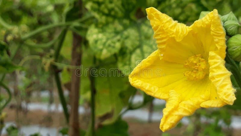Jarzynowy kwiat zdjęcie royalty free