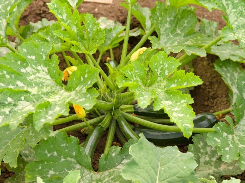 jarzynowy zucchini zdjęcia royalty free