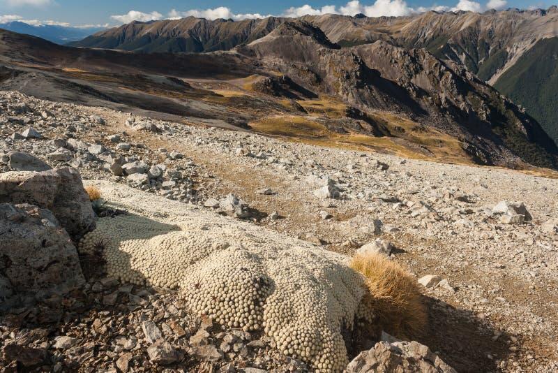 Jarzynowych cakli dorośnięcie w Nelson jezior parku narodowym obraz stock