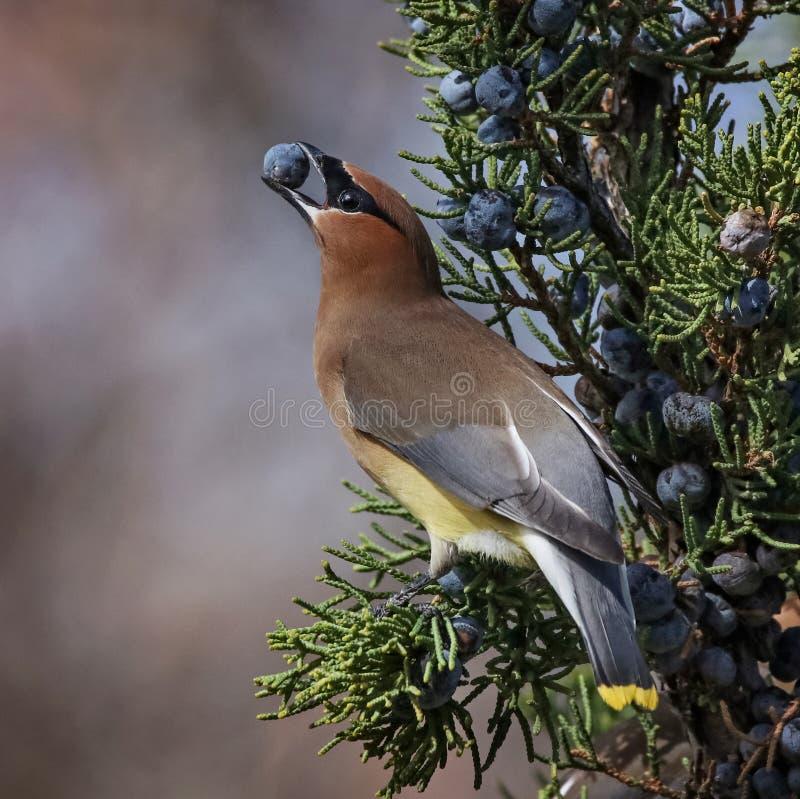 Jaseur de cèdre dans un arbre mangeant une baie de genévrier images stock