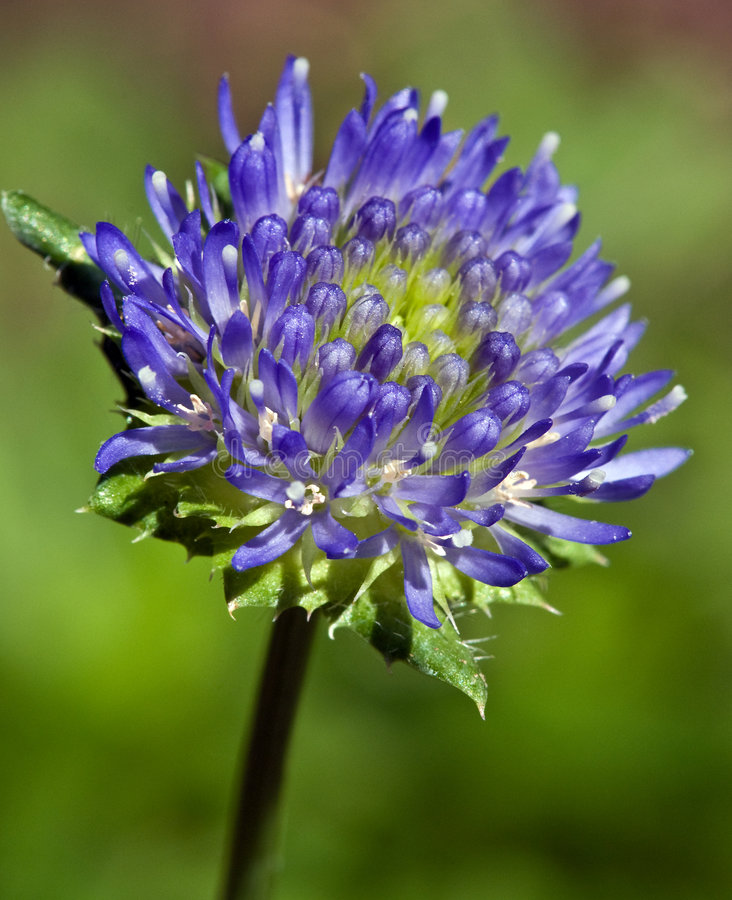 Closeup Of Jasione Laevis Flower Buds Royalty Free Stock Photos