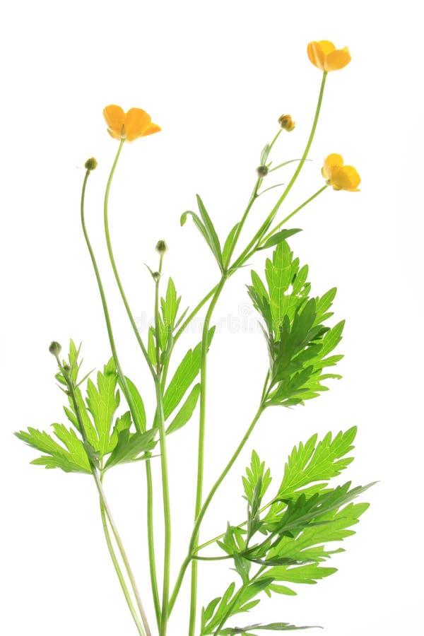 Jaskier (Ranunculus acris) zdjęcie stock