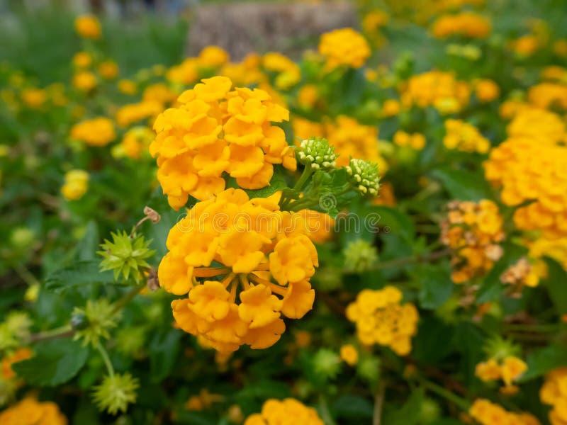 Jaskrawa żółta duża mędrzec kwitnie - zbliżenie strzał obraz royalty free