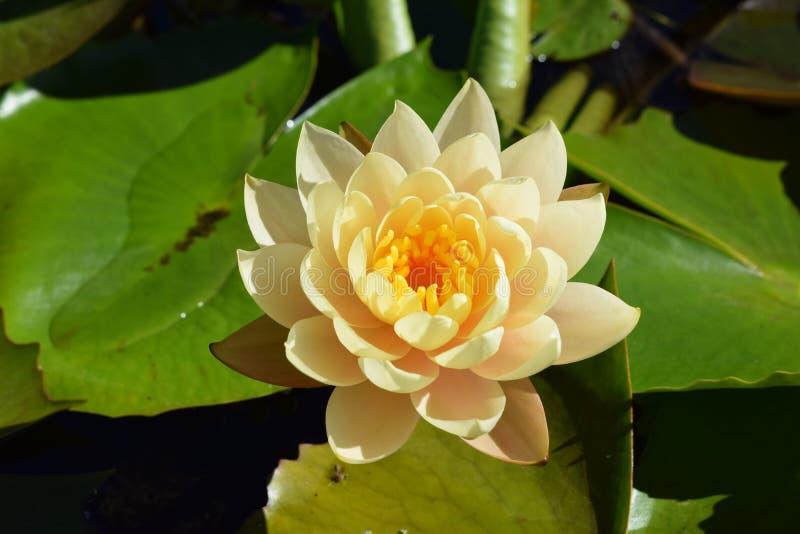 Jaskrawa Afrykańska Kwitnąca wodna leluja zdjęcie stock