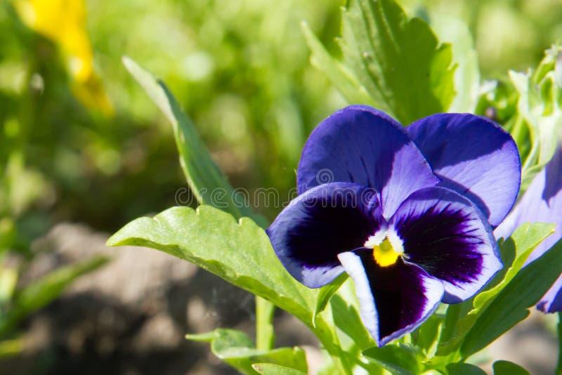 Jaskrawa altówka w wiosna ogródzie obrazy royalty free