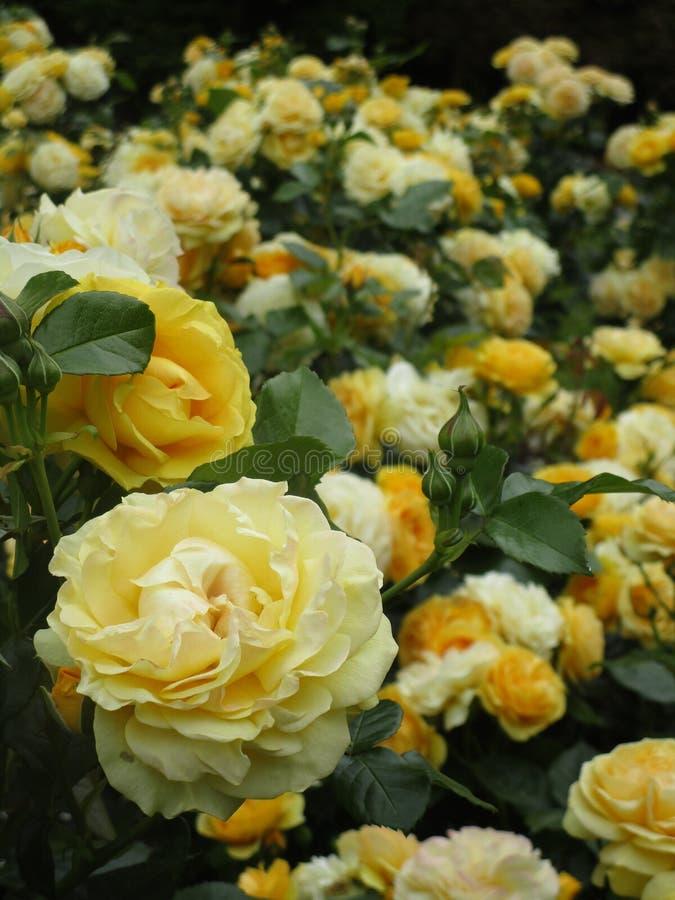 Jaskrawa atrakcyjna kolor żółty róża kwitnie kwitnienie w wczesnym lecie przy Stanley parkiem obraz royalty free