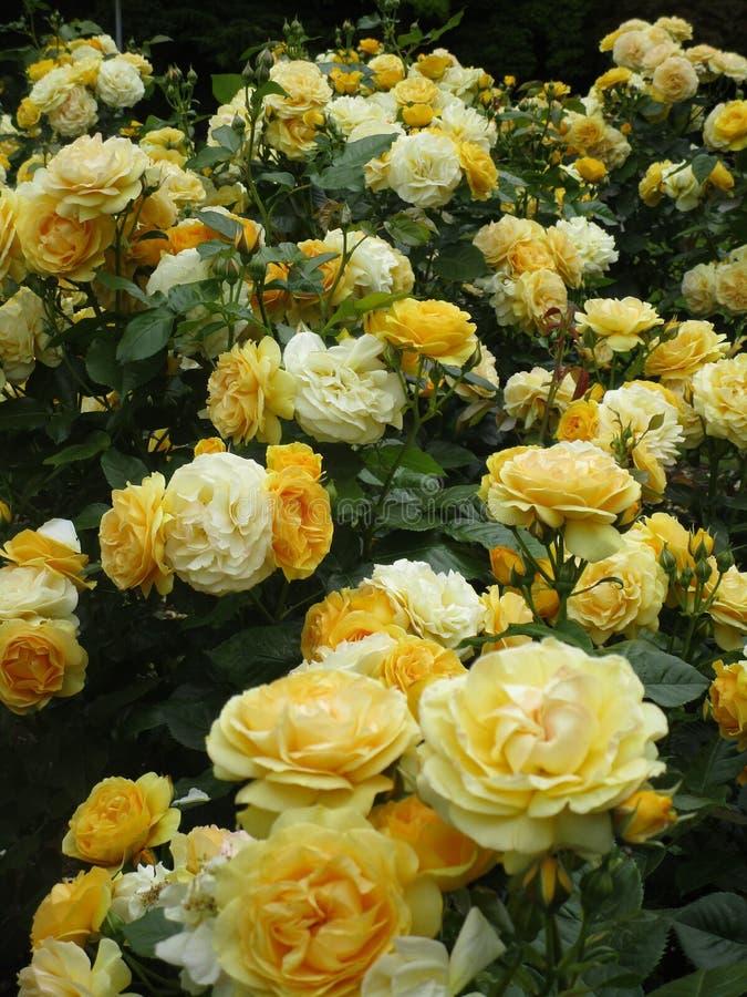 Jaskrawa atrakcyjna kolor żółty róża kwitnie kwitnienie w wczesnym lecie przy Stanley parkiem zdjęcie royalty free