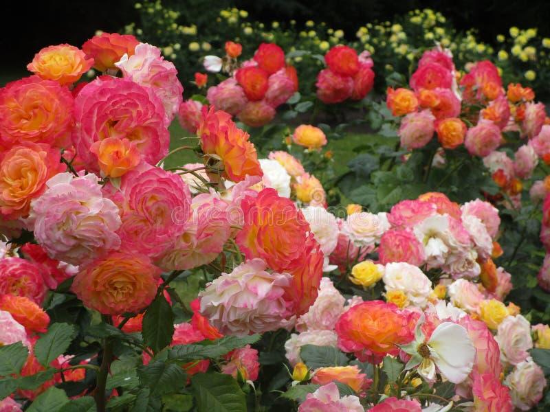 Jaskrawa atrakcyjna kolorowa menchii, koloru żółtego i bielu róża, kwitnie kwitnienie w wczesnym lecie przy Stanley parka ogródem obrazy royalty free