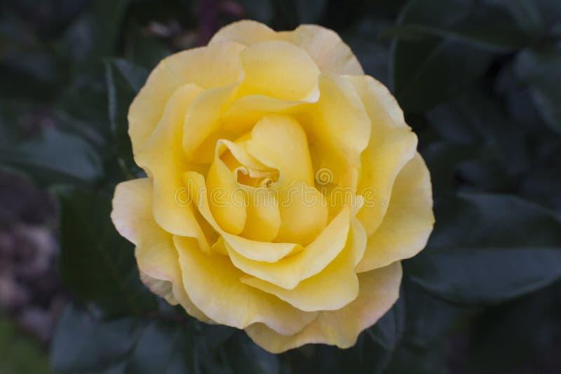 Jaskrawa cytryna - kolor żółty róża zdjęcie royalty free