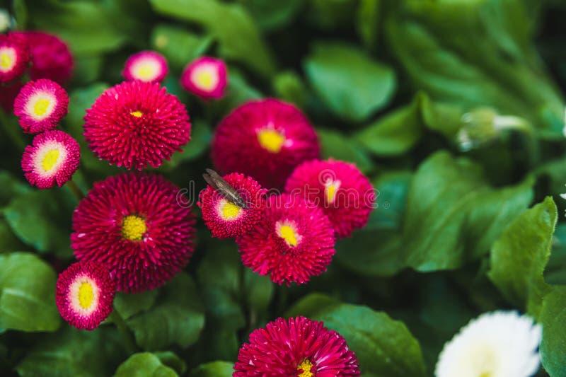 Jaskrawa czerwień kwitnie na zielonym gazonie, tło dla strony internetowej obraz stock
