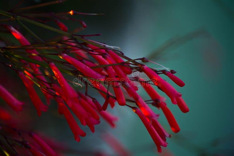 Jaskrawa czerwień kwitnie w ogródzie obraz stock