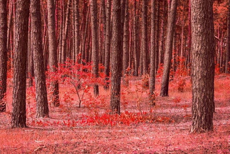 Jaskrawa czerwona lasowa wysoka sosna malować piękno jesieni rośliny obrazy stock