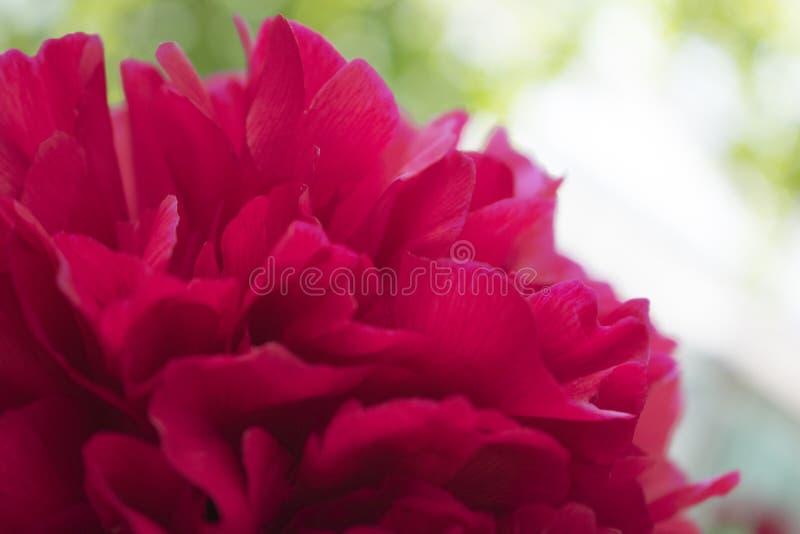 Jaskrawa czerwona peonia kwiatów dorośnięcia fotografia t?o kwiaty b??kitny jaskrawy uprawiaj? ogr?dek leluj nieba lato obraz stock