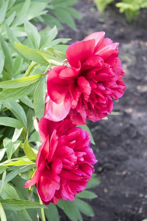 Jaskrawa czerwona peonia kwiatów dorośnięcia fotografia t?o kwiaty b??kitny jaskrawy uprawiaj? ogr?dek leluj nieba lato obraz royalty free