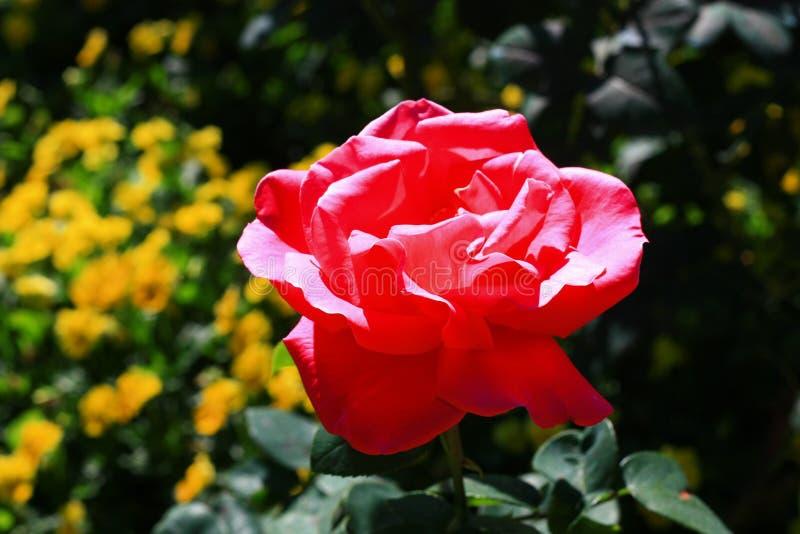 Jaskrawa menchii róża w mój ogródzie fotografia stock