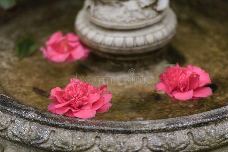 Jaskrawa menchii róży kamelia kwitnie w wodzie zdjęcie royalty free