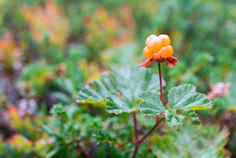 Jaskrawa moroszka na tle zieleni liście zdjęcie stock