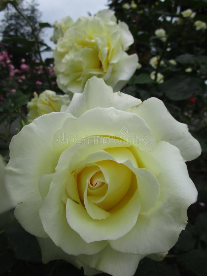 Jaskrawe atrakcyjne słodkie żółte kolorowe róże kwitnie w wczesnym lecie przy Stanley parka ogródem różanym fotografia royalty free