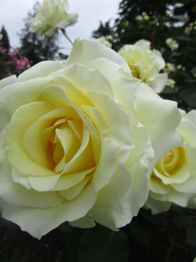 Jaskrawe atrakcyjne słodkie żółte kolorowe róże kwitnie w wczesnym lecie przy Stanley parka ogródem różanym obraz stock