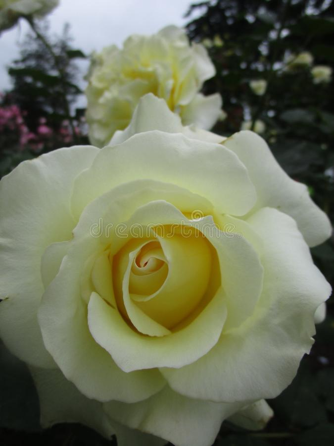 Jaskrawe atrakcyjne słodkie żółte kolorowe róże kwitnie w wczesnym lecie przy Stanley parka ogródem różanym obraz royalty free
