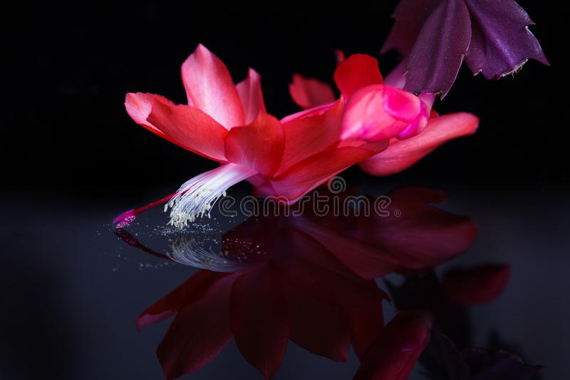 Jaskrawe czerwieni menchie kwitną w górę czarnego tła na Kwitnący czerwony Bożenarodzeniowego kaktusa schlumbergera Epiphyllanthu fotografia royalty free