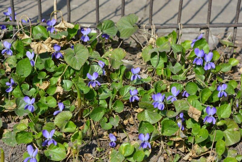 Jaskrawe i kolorowe śnieżyczki w wiosny słońcu, wcześni purpurowi kwiaty, prolisk, fragrant fiołek zdjęcie royalty free