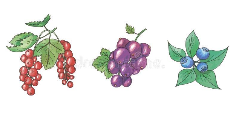 Jaskrawe i soczyste owoc i jagody Czerwoni rodzynki, czarni rodzynki, czarne jagody ilustracja wektor