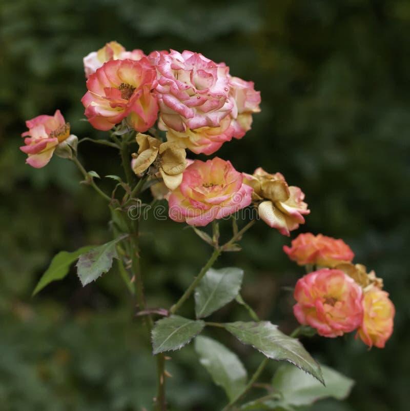 Jaskrawe róże na ciemnozielonym tle w ogródzie 2007 pozdrowienia karty szczęśliwych nowego roku obraz stock