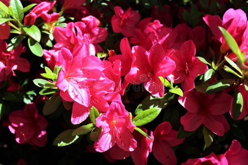 Jaskrawe Różowe azalie obrazy royalty free