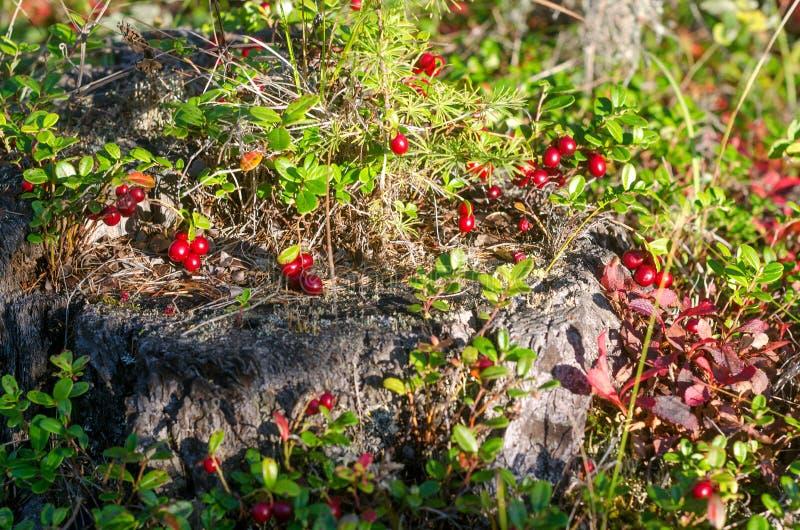 Jaskrawe słońce oświetla wiele soczystych czerwonych jagód rosnących gęsto na starym pniu obrazy royalty free