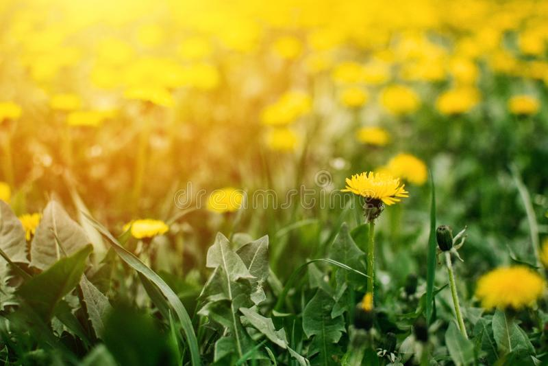 Jaskrawego lata horyzontalny tło, sztandar Dandelions z światłem słonecznym na zielonej trawie dandelions pola zieleni kolor ? zdjęcie stock